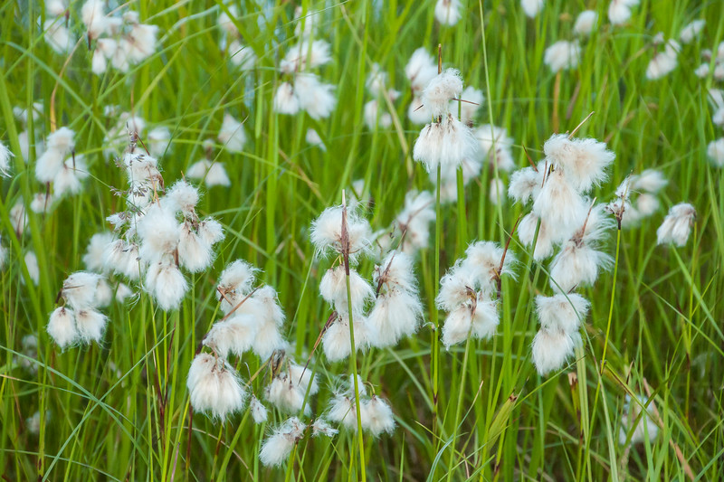 """Cotton Grass doesn't fit most people's image of the word """"flower.""""  However, this is the seed producing part of a grass that grows in boggy areas of Minnesota."""