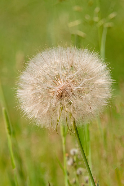 This is the Goat's Beard flower after it has gone to seed.  Looks like a giant dandelion and it's about the size of a large orange.