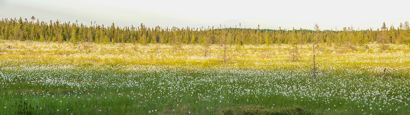 Cotton Grass is most impressive when you see it dominating a large bog like this one along Highway 65 in northern Minnesota.