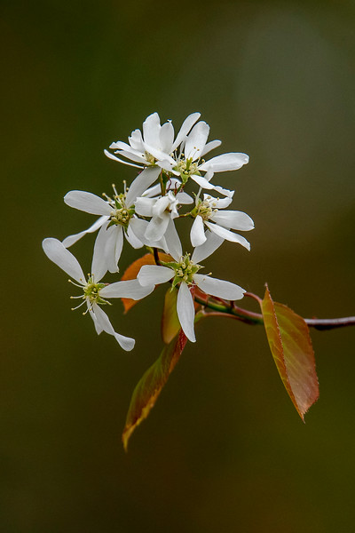 Juneberry (also called Serviceberry) is a large shrub that produces white flowers in spring.  The berries are a favorite food for birds.