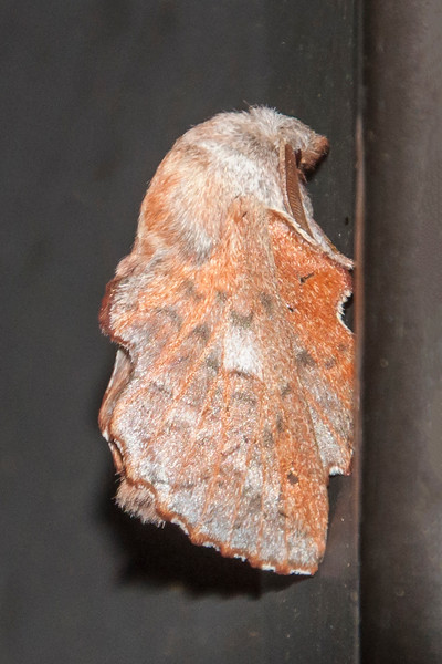 The American Lappet Moth folds its wings into a tent shape when it perches.  In this position, its reddish color and scalloped wing edges provide good camouflage because it looks like a dried leaf.  (That doesn't help, however, when it perches on a black door frame, as in this photo.)  Its size ranges from 5/8 to1 inch (15-25 mm) long.