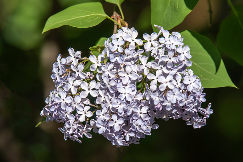 This photo of a cluster of the Lilac flowers brings back to me the memory of their lovely fragrance.  Not only is it pleasing to humans, but it also attracts many insects as well.  I decided to stay on the garage roof for one hour and photograph all the insect visitors to these plants during that time.