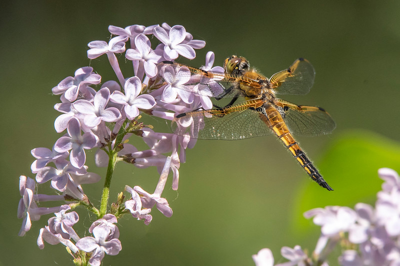 A Four-spotted Skimmer landed on the flowers.