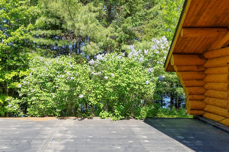 We have Lilac bushes at our lake home in northern Minnesota.  Last Monday they were in full bloom.  This photo was taken from the flat roof of our tuck-under garage.