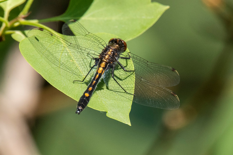 Here's a Dot-tailed Whiteface on one of the leaves.