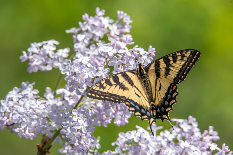Several Tiger Swallowtails were frequent visitors to the Lilacs.