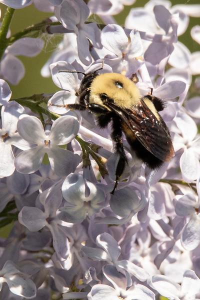 Here is another bee that came to the Lilacs, but I don't know what kind of bee it is.