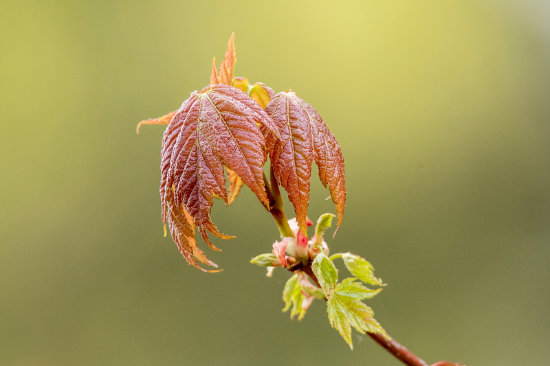 We have Maple trees at our home, and they have cute little clusters of leaves when they first emerge.