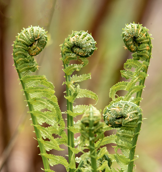 I found a different kind of fern in the woods at my friend Shawn's house near Grand Rapids, Minnesota.