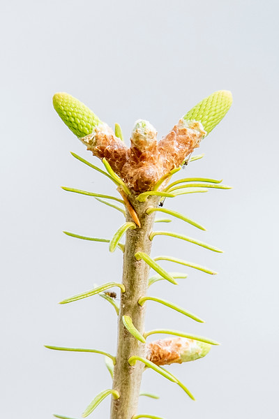 Here's a close-up of a young Balsam tree that is only about two feet tall.  There are four new buds emerging at the top.  One points straight up and that will be the continuation of the tree trunk.  Three other buds stick out to the sides and those will become branches.  The one that is pointing toward us is still encased in brown scales but the other two have broken out.  The new needles for these branches are tightly packed at this time but they will expand as the branches grow out.