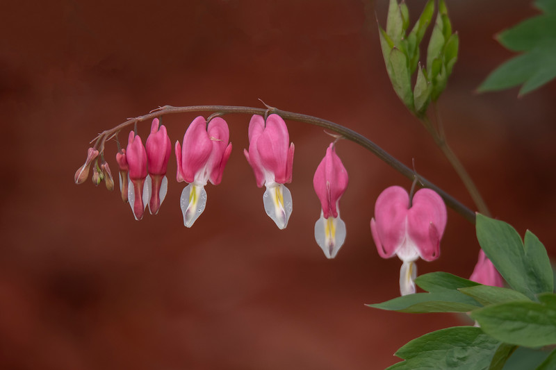 Shawn has a Bleeding Heart bush growing near his house and I couldn't resist taking a photo of the flowers.