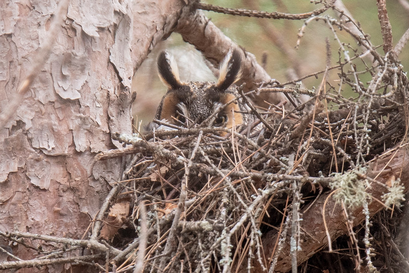 My first look at the owl was on May 10.  It was hunkered down and raised its head just enough to see me over the edge of the nest.  I couldn't tell if it was still sitting on eggs or if the owlets had already hatched.
