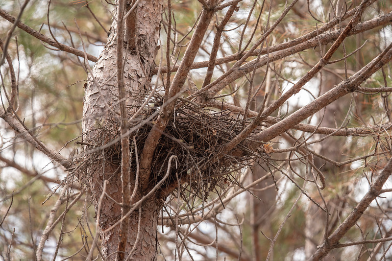Here's a closer look at the loosely constructed stick nest.  Owls do not build their own nests, so this was probably built in a previous year by a hawk or crow.