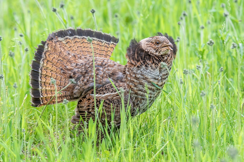I searched the woods around the nest looking for the owls, but I didn't find them.  As I walked along the edge of the trees, I heard rustling in the tall grass and a bird call I didn't recognize.  Suddenly, this Ruffed Grouse charged out of the grass and ran around in the shorter grass near me.  This is the first time I have seen a Ruffed Grouse with its ruff raised.  Before I could get set up to take some video, it ran back into the tall grass and then flew away.