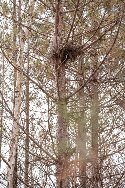 My friend Shawn Conrad discovered a Long-eared Owl nesting on his property.  He lives near Grand Rapids, Minnesota.  Naturally I was interested in seeing and photographing it.  It was using a nest in this tree.