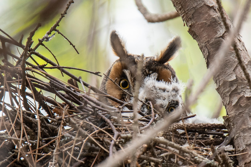 One owlet was visible on May 25.  That's the only one I saw but Shawn told me there were three of them.  June 9 was the next time I could get there, and the nest was empty.  The owlets had already fledged.