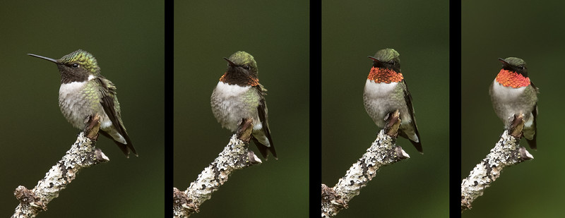 A male Ruby-throated Hummingbird has a favorite perch near our feeders.  You probably know that his throat feathers are not red, they only look red when light hits them at a certain angle.  I took this series of photos showing how the color changes as he turns his head.