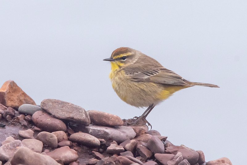I made a trip up the North Shore this spring.  At the harbor in Grand Marais, this Palm Warbler was checking the rocks along the shore, looking for tidbits to eat.