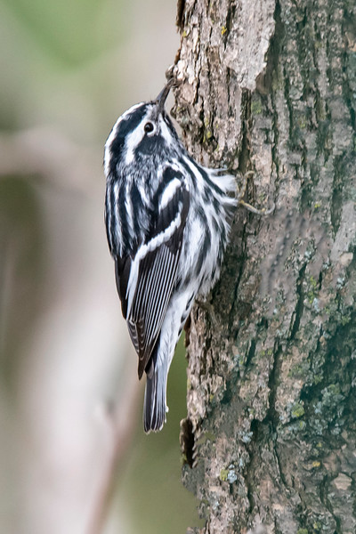 Two weeks ago, I posted photos showing that urban areas have a lot to offer the nature lover.  That was confirmed by this photo and the next, both taken right from the balcony of our apartment building in Shoreview, MN.  This is a Black and White Warbler.