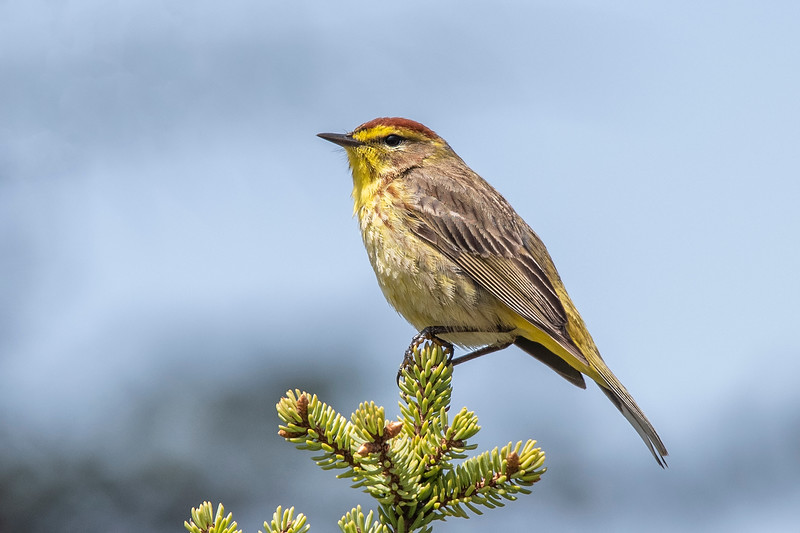 Here's another Palm Warbler seen along Itasca County Road 72, south of Warba, MN.