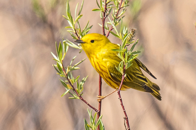 There is a very large marsh just south of MacGregor, MN.  That's where I photographed this Yellow Warbler.