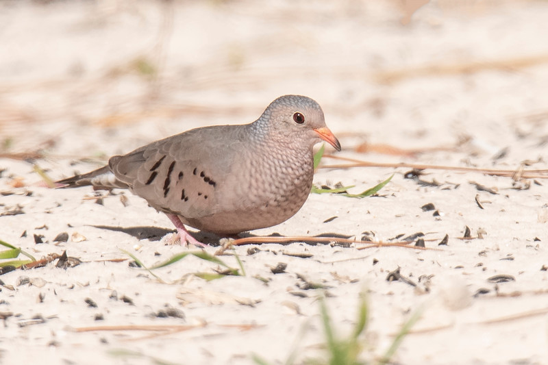 At only 6 inches, the Common Ground-Dove is tiny compared to the two previous dove species.  The head and breast feathers are edged in black, giving the bird a scaly look.  It has a short tail, a brightly colored bill with a black tip, and black spots on the wings.  It is found across the southernmost part of the United States.
