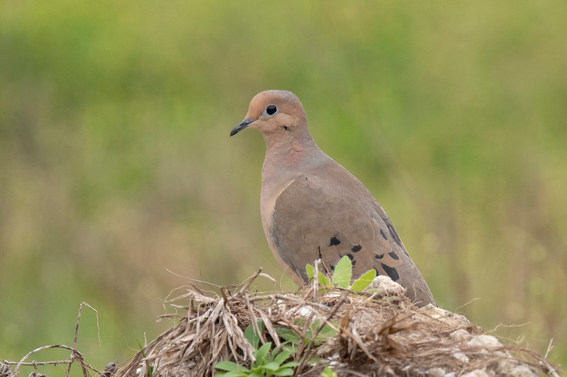 """Mourning Doves are more colorful and somewhat smaller (12"""") than Eurasian Collared-Doves.  They are common throughout the United States.  This photo was taken at the Apalachicola Seafood Park."""