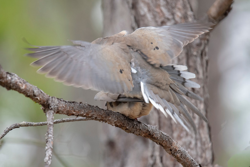 This photo convinced me that the pair of doves in the previous photo are a mated pair.  But I also included it to show the colors of the tail when it is spread out.  These photos were taken on St. George Island, Florida.