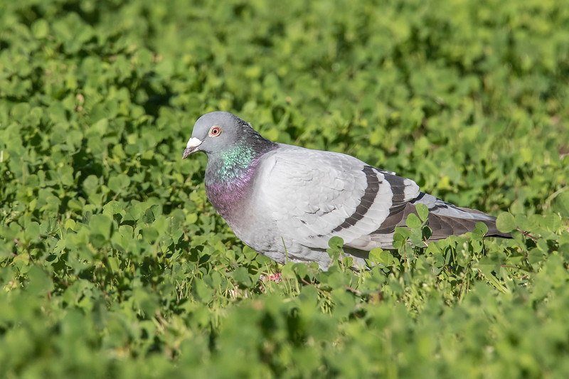 Rock Pigeons are not common in the part of Florida where we stay.  I usually have to work hard to add them to my winter bird list.  This one was foraging in the grass near one of our favorite restaurants in Apalachicola.  It's unusual to find one by itself; they are usually in a small flock.  Rock Pigeons in large cities are found in all shades of color but this one has the natural, wild plumage of the Rock Pigeon.  It has a gray head, iridescent neck, and gray back with two prominent black wing bars.