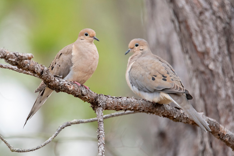 Mourning Doves have a pale, tan breast.  Their wings are somewhat darker brown with several black spots on them.  There is a subtle color difference between males and females.  The male has a blueish-gray crown (as seen on the bird at the right) while the female's crown is tan.  Also notice the long, pointed tail, in contrast to the squared-off tail of the Eurasian Collared-Dove.