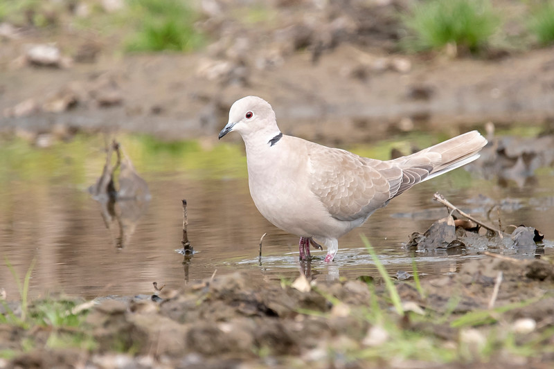 """I photographed three different dove species while we were in Florida.  Here's a Eurasian Collared-Dove.  This large (13"""") dove is most often seen sitting on phone wires but I photographed this one at Riverwalk Park in Apalachicola, Florida."""