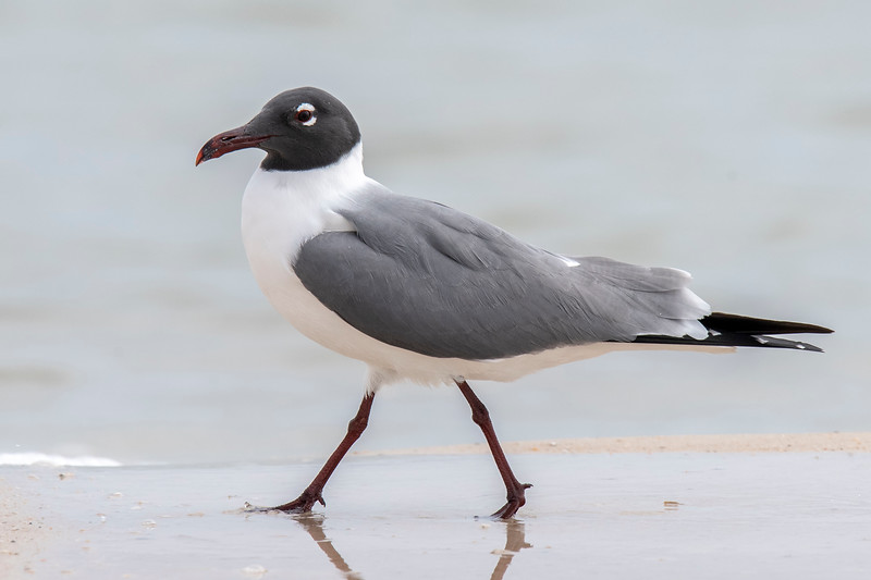Here's a confident-looking, fully molted Laughing Gull.  Note that the bill is more noticeably red, but I think it might get even redder before the breeding season starts.