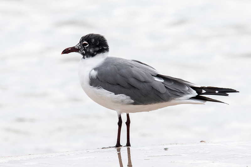 Laughing Gulls are coastal birds, so we rarely see them in Minnesota.  This one has almost completed the molting of its head feathers.