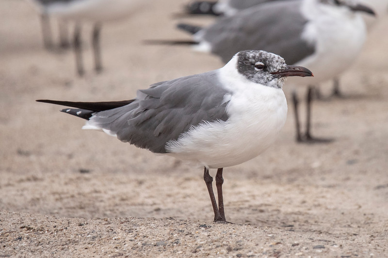 This Laughing Gull has about an equal number of black and white feathers on its head.
