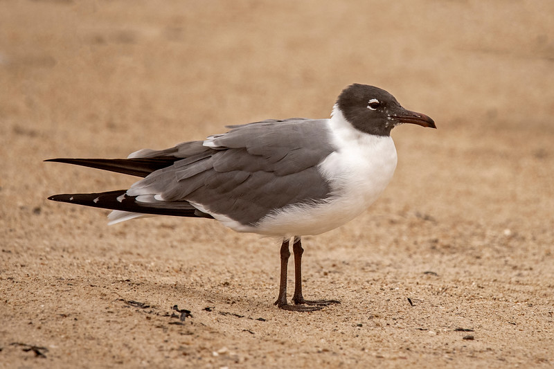 In the changeover to breeding plumage, the Laughing Gull's bill and legs go from black to dark red.  This bird is starting to show that change in color.