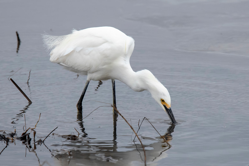 The Egret went after something in the water.