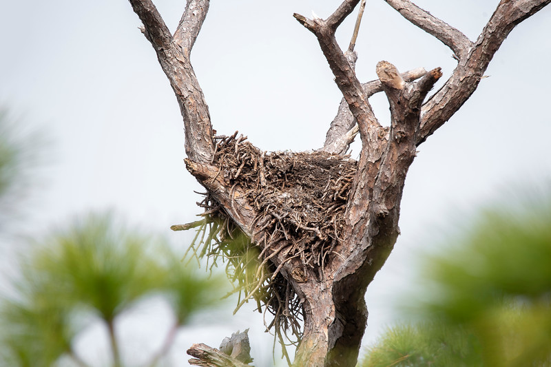 This huge nest was located near a public street about two blocks from where we stayed on St. George Island, Florida.  Last year it was occupied by a pair of Bald Eagles.  I checked it periodically this year but didn't see any eagles around it.