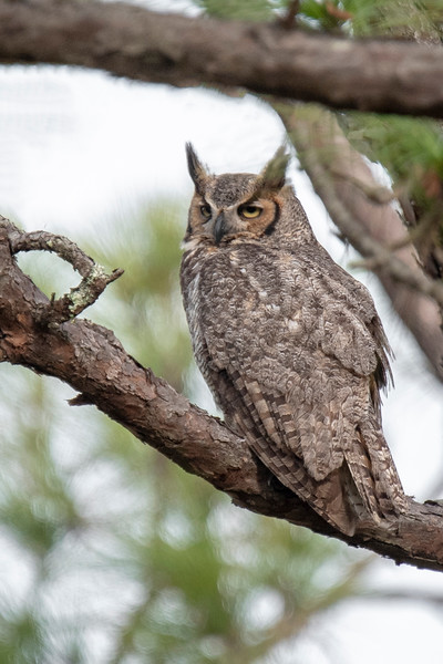 Sometimes, one of the adult owls was sitting in a nearby tree.