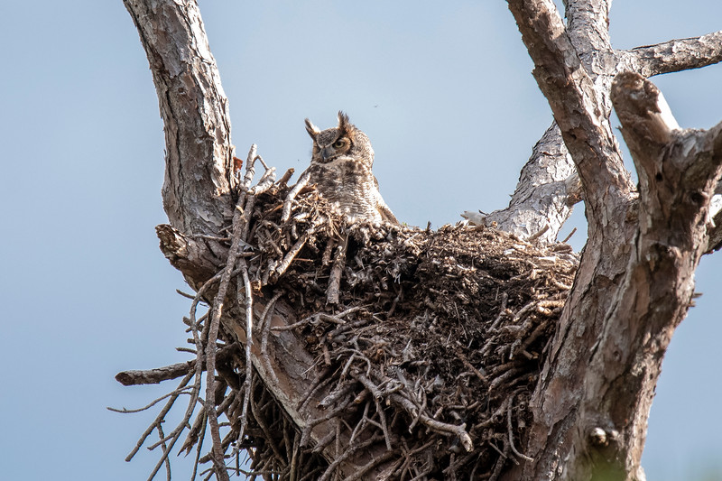 Then, on February 5, I noticed a Great Horned Owl sitting there.  It had apparently taken over the nest from the eagles.  Great Horned Owls do not build their own nests, they reuse ones that have been built by another large bird, or a squirrel, or they use a hole in a tree.  They are entirely capable of fighting off an eagle and it looked like that is what happened here.