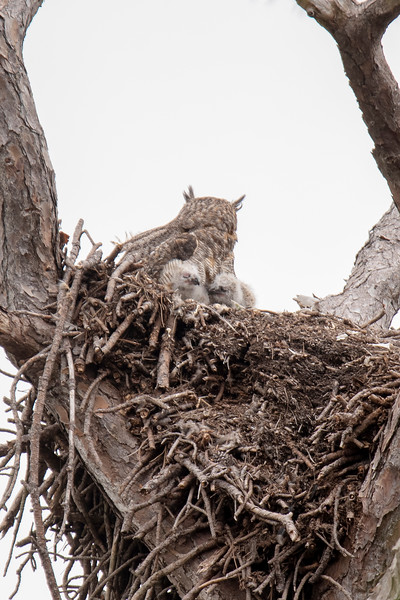 On February 8, I was finally able to confirm that two baby owls were in the nest.  They were probably a few days old already when I took this picture.