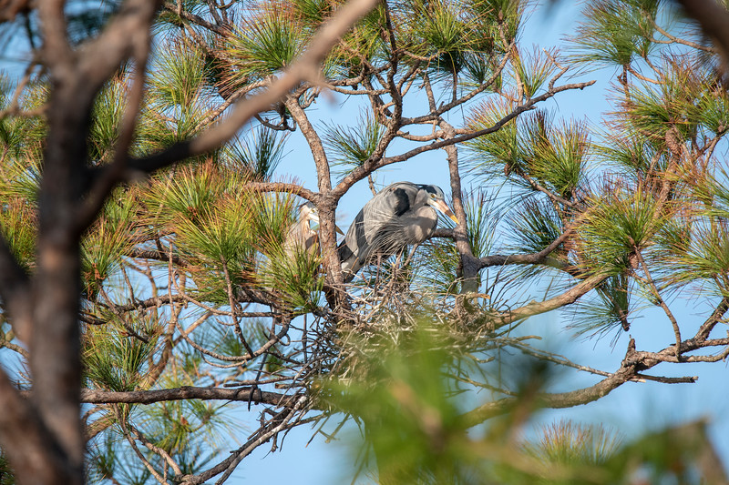 Sure enough, another pair of Great Blue Herons were constructing an almost hidden nest higher in the same tree.  These birds have no problem with other herons nesting nearby.  I only saw two nests here, but heron colonies often have 100 or more nests in the same area.