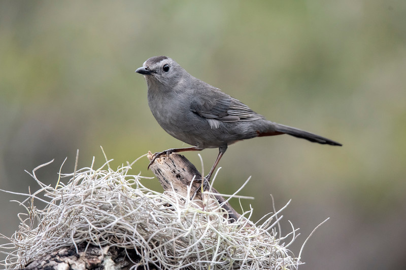 Of course, we don't get Spanish Moss in Minnesota, so this photo of a Gray Catbird has a definite southern look.