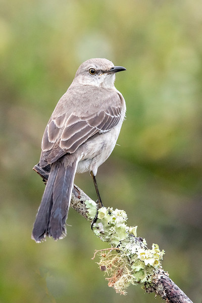 It took many days before this Northern Mockingbird would come to my perch.  When I tried this the previous year, I had a Mockingbird that not only showed up right away but dominated the setup, chasing all the other birds away.