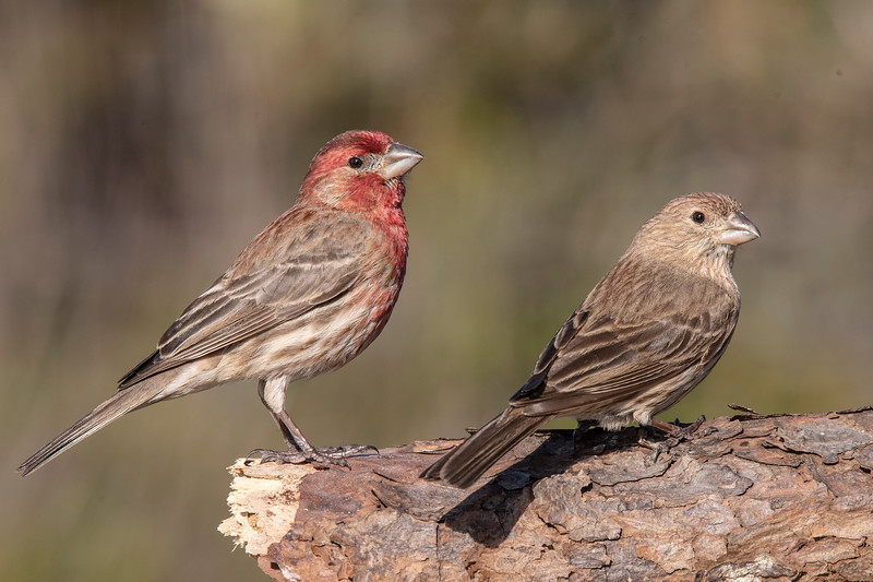 We had several pairs of House Finches visiting the feeders I put up.  I got lucky when both a male (on the left) and a female posed together on a log for me.