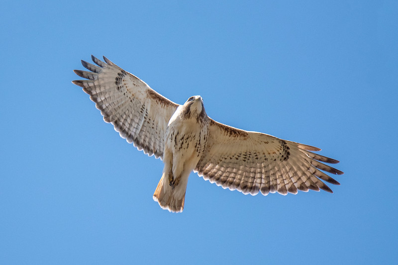 Red-tailed Hawks are often seen soaring over urban park areas looking for a meal.  This photo was taken at Reservoir Woods Park in Roseville, Minnesota.