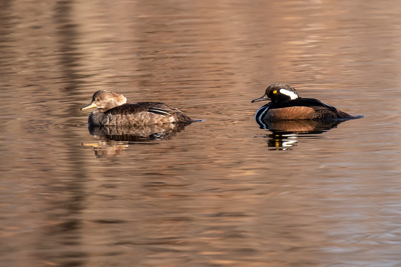 Most ducks find a mate while they are still on their wintering grounds in the south.  They migrate north together and find a place to build their nest.  This pair of Hooded Mergansers (male on the right) stayed close together at Silverwood Park.