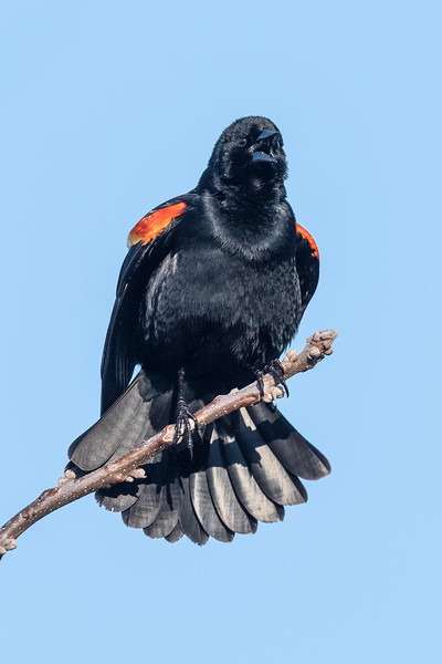 There were plenty of raucous male Red-winged Blackbirds at the lake.  This one is belting out his kon-ka-reeee call and trying to establish his breeding territory.