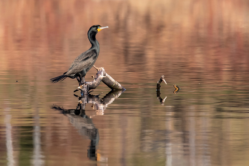The brown vegetation reflected in the water made a very pretty background for this Double-crested Cormorant as it rested on a submerged log.