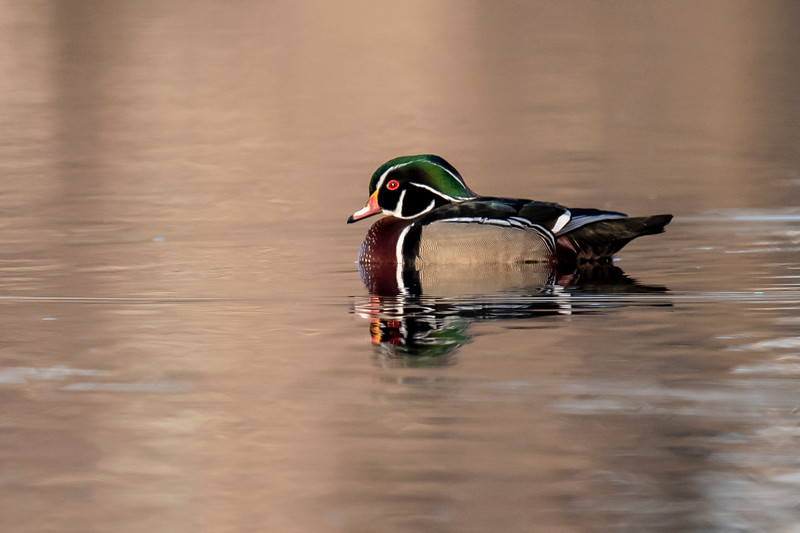 Here's another Wood Duck photo.  The color of the water makes this photo feel much different to me than the first one.  Here, the duck was close to shore, so the brown vegetation is reflected in the lake.  In the previous photo, the ducks were away from shore, so the blue sky is reflected in the water.
