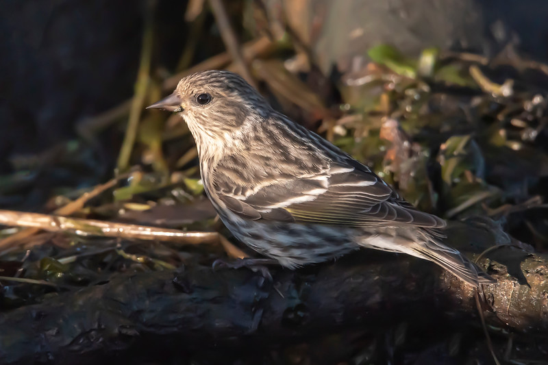 Here's a little winter bird that I didn't expect to see.  It's a Pine Siskin and they have usually left for their northern breeding grounds by now.